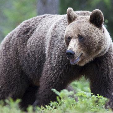 Yö karhukojussa