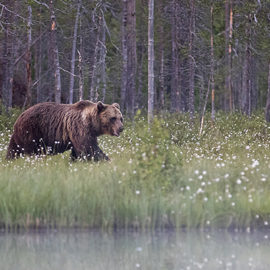 Kaksi yötä karhukojussa