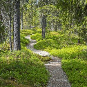 Sorastettu polku kulkee läpi metsien
