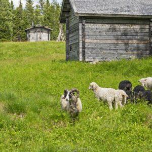 Pässi laittoin lammaslaumansa kasaan
