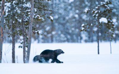 Talvikojuilua Kuhmossa